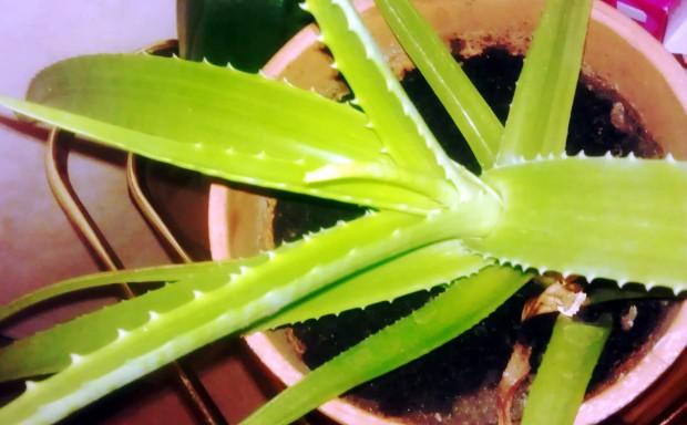Plant d'aloe vera en pot: Plante épineuse